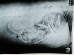 Can you see the pacifier that is in this #dog's stomach in this radiograph?