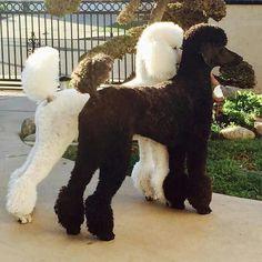 White and Black Standard poodels
