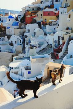 CATS OF Oia (pronounced i.a) is a small town and former community in the South Aegean on the islands of Thira (Santorini) and Therasia, in the Cyclades, Greece. Places Around The World, Oh The Places You'll Go, Places To Travel, Places To Visit, Around The Worlds, Travel Destinations, Nature Architecture, Foto Poster, Photo Chat