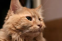 Orange Maine Coon-Cat Wallpaper.   Maine Coon Cat Kittens is one of the largest domesticated breeds of cat.  #Maine #Coon #Cat #Kittens #Breed