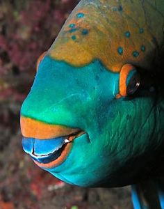 Parrotfish - saw one of these at Haunama Bay, HI while snorkeling. Beautiful fish! Sharp teeth!!