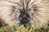 pilates image - porcupine