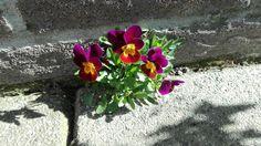 Muur bloempje 💖 in mijn tuin. Viooltje |  violet