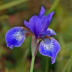 IRIS SIBIRICA 'FLIGHT OF BUTTERFLIES' SEEDS (Siberian Iris)