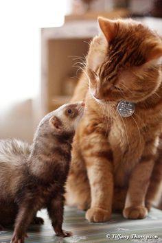 "* * FERRET: ""Do yoo want to be meez friend?""   [CAT:  Well- - Me haz heard yoo  guys kin rumble like pro's, but meez instincts tells me, 'okey.' """
