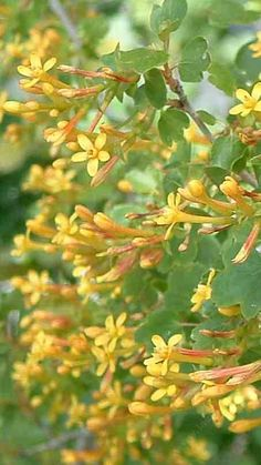Ribes aureum gracillimum, Golden Currant has reddish yellow flowers.  Native to Southern California.  Great for attracting birds.  The fruit is edible (has a large seed though).