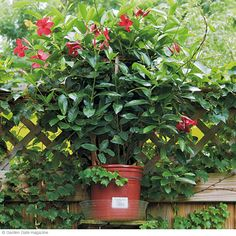 Mandevilla sitting on a shelf on back of fence creating privacy
