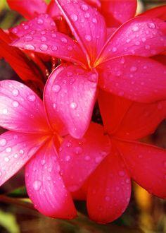 Red Plumeria Flower