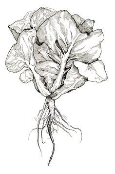 Lettuce Head_02