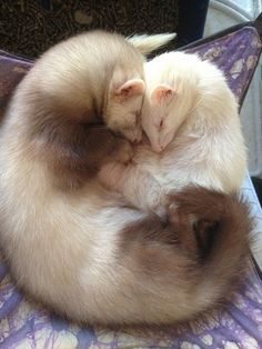 Ferret love - except the black footed ferret, European and albino ferrets sold as pets are not indigenous to America, ferrets are prohibited entry into California.