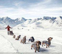 dachshund through the snow. Dapple Dachshund, Dachshund Puppies, Dachshund Love, Daschund, Prado, Cool Photoshop, Best Puppies, Weenie Dogs, Doggies