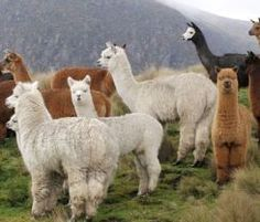 Alpacas in the Andes.