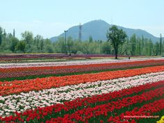 """DSC04868.jpg (1024×768)    """"KASHMIR, INDIA- Indira Gandhi Tulip Garden. We were welcomed by rows and rows of a hundred thousand tulips on this wide garden."""" -hir"""
