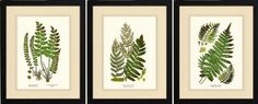 $239.00 on amazon Framed Botanical Prints - set of 3 11x14 matted and framed Fern Illustrations by Charting Nature, http://www.amazon.com/dp/B00DGC8QLY/ref=cm_sw_r_pi_dp_QZB4rb1BMC93M