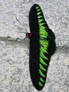 Raja Brooke's birdwing butterfly, Trogonoptera brookiana, the national butterfly of Malaysia. Photo taken at the Butterfly Farm, Penang