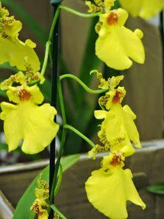 expo flores de holambra em salvador  orquidea chuva de ouro
