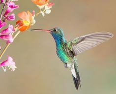 Broad-billed Hummingbird. I photographed this Hummingbird in Madera Canyon, Arizona.