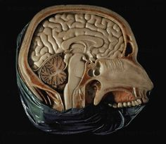 AGE OF REASON WAX MODEL 18TH  Cross section of a human head with bone structure and brain, by Anna Morandi Manzolini  University, Bologna, Italy