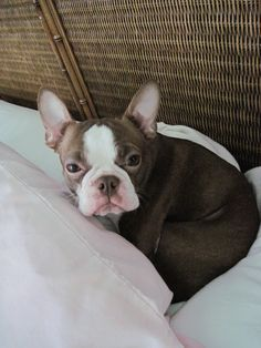 """Fantastic """"boston terrier puppies"""" information is offered on our site. Take a look and you wont be sorry you did. Red Boston Terriers, Boston Bull Terrier, Terrier Breeds, Terrier Puppies, Baby Dogs, Doggies, Cute Creatures, Cute Animals, Baby Animals"""