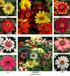"""Zinnias for the right side of Chinese Pagoda. This variety is not too tall, 18"""" max."""