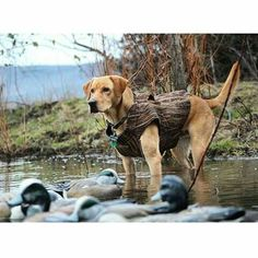 . Duck Hunting Dogs, Coyote Hunting, Waterfowl Hunting, Kittens And Puppies, Retriever Dog, Dogs Of The World, Working Dogs, Dog Life, Dog Cat