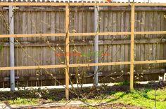 Ştim că rugii de mur din pădure se întind pe suprafaţa pământului. Murul din grădina noastră preferă însă altceva.