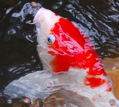 A good read about Japanese Koi Fish for aquaponics. Some basic temperature information, a bit about culling the population to select for the more colorful fish, and a little bit of their history. Koy Fish, Koi Carp Fish, Fish Ponds, Fish Information, Common Carp, Goldfish Pond, Pond Water Features, Japanese Koi, Carpe