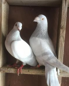 Cute Pigeon, Pigeon Bird, Tumbler Pigeons, Nicobar Pigeon, Pigeons For Sale, Pigeon Pictures, Pigeon Breeds, Homing Pigeons, Pigeon Loft