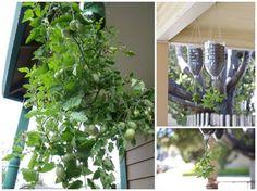 Plantando tomate em garrafa Pet-passo a passo.
