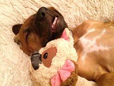 Pets | Dogs | Rhodesian Ridgeback puppy - dead asleep and looking the part. Rhodesian Ridgeback Puppies, Pet Dogs, Pets, A Good Man, Make Me Smile, Pitbulls, Best Friends, Creatures, Rock
