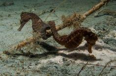 Common  Seahorse- Hippocampus taeniopterus - stock photo