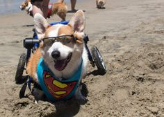 I mean, come on, look at this guy with those sunglasses. Instantly iconic. | 71 Reasons We Need To SAVE CORGIS FROM EXTINCTION