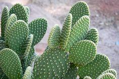cactus - Pesquisa Google