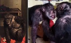 A chimpanzee who was allegedly left isolated in a 'hellhole' for years has finally found romance after being rescued and re-homed.  Keepers at Save the Chimps sanctuary Florida, say it was 'love at first sight' when 32-year-old Iris clapped eyes on 40-year-old Abdul last month.  Apparently the pair have been inseparable and heartwarming footage shows the pair lovingly kissing each other.