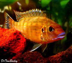 "Premium New Pseudotropheus Williamsi, Blue Lips Mbuna, 2"" to 2.5"" long"