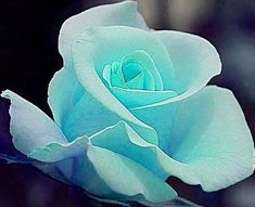 Tiffany blue rose!