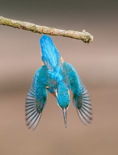 Dive, Dive, Dive! - bird photography by Nick Holland