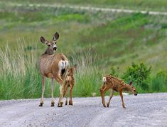 Mule Deer Doe And Twin Fawns Photograph  - Mule Deer Doe And Twin Fawns Fine Art Print