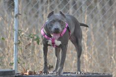 """Do you need an """"Angel"""" to watch over you?  Angel will make a most loyal and loving Companion.She came to us with a broken pelvis and many other injuries.  She is a very loving dog and extremely athletic.  Angel might be better suited as an only dog..."""