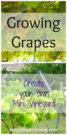 Growing Grapes with Sensible Gardening. Create your own Mini Vineyard. Growing Grapes with Sensible Backyard Vineyard, Grape Vineyard, Rustic Backyard, Vineyard Vines, Fruit Garden, Edible Garden, Garden Pool, Garden Bridge, Hydroponic Gardening