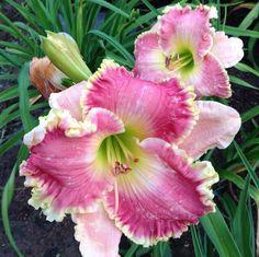 Daylily, Hemerocallis 'Jurassic Pink' (Stamile-Pierce, 2012)