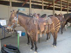 this zorse almost looks un-real Pretty Horses, Beautiful Horses, Animals Beautiful, Rare Horses, Zebra Crossing, Rare Animals, Strange Animals, Mundo Animal, Horse Breeds