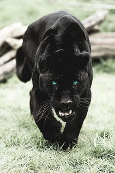 Panther Clan: the warrior woman, the non-traditional Amazon as well as any men that wish to fight alongside her that also identify with this totem.  (Stealth, Inner Vision, Intuition, Independence, Protective, Valor, Ferocity, Aggressiveness, Multi-tasking)