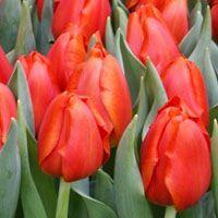 Bourbon Street Tulip ~ New Bulbs for 2015