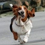 If ever I got a dog, it would have to be a hound. Lookit that personality! :) They are great dogs. Baywatch Theme, Running Pictures, Funny Animals, Cute Animals, Cool Pets, Basset Hound, Funny Art, Mans Best Friend, Puppy Love