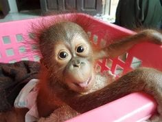 Watching this baby orangutan being nursed back to health will warm your heart - YouTube