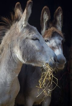 Baby Donkey, Cute Donkey, Baby Cows, Burritos, Farm Animals, Cute Animals, Strongest Animal, Miniature Donkey, Wild Dogs