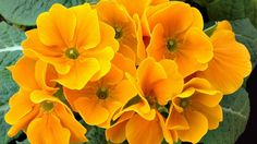 Primrose Flower Close Up Yellow Leaves 2560×1600