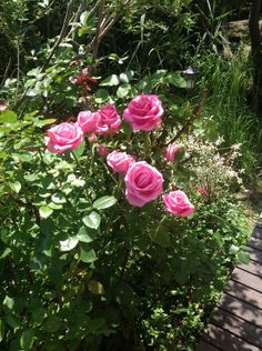 William and Wayne Fire Island roses#Pin By:Pinterest++ for iPad#