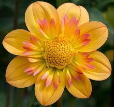 Dahlia 'Kelsey Annie Joy': it's the beauty of the golden circle, the personification of the Universe's interest in making every item on this Earth beautiful